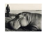 Hippopotamus  1920s