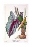 Caladium Bicolor  1836