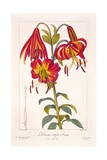 American Turkscap Lily  1836