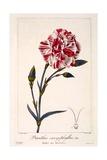 Dianthus Caryophyllus  1836