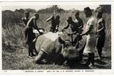 Skinning a Rhino  C1920s