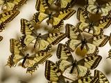 Drawer of Swallowtail Butterflies