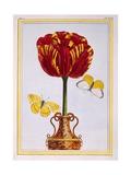 Tulip 'Le Drap D'Or  C1776