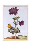 Garden Anenome (Windflower)  C1776