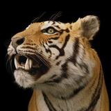 Tiger Shot by King George V