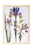 Variegated Iris  C1776