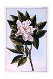 Gardenia G Augusta  Illustration from 'Collection Precieuse Et Enluminee Des Floura' Part II  by…