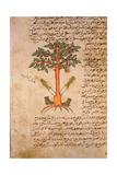 Folio 12R of the Arabic Version of Dioscorides' De Materia Medica