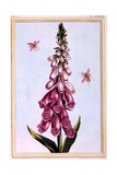 Foxglove Digitalis  Illustration from 'Collection Precieuse Et Enluminee Des Floura' Part II  by…