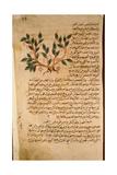 Folio 19R of the Arabic Version of Dioscorides' De Materia Medica