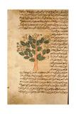 Folio 17R of the Arabic Version of Dioscorides' De Materia Medica