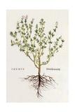 Thymus [Thyme]  Illustration from 'De Historia Stirpium Commentarii Insignes' by Leonhard Fuchs …