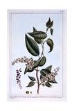 "Prunus Padus or ""Bird Cherry""  Illustration from 'Collection Precieuse Et Enluminee Des Floura' …"