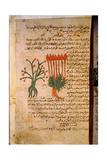 Folio 11R of the Arabic Version of Dioscorides' De Materia Medica
