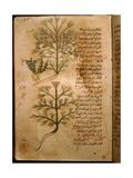 Folio 37R of the Arabic Version of Dioscorides' De Materia Medica