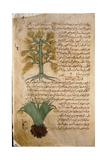 Folio 5R of the Arabic Version of Dioscorides' De Materia Medica