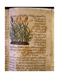 Folio 11V of the Arabic Version of Dioscorides' De Materia Medica