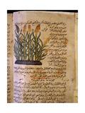 Folio 11V of the Arabic Version of Dioscorides' De Materia Medica