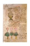 Folio 14R of the Arabic Version of Dioscorides' De Materia Medica