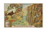 Eider Duck; Gathering Eider Down on a Northern European Coast