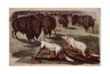 North American Plains Indians Creep Up on Grazing Buffalo While Wearing Wolf Skins  C1840