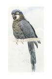 Hyacinth Macaw  C1890