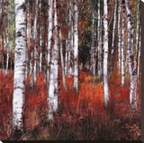 Birch Trees in Fire Grass 1