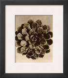 Sepia Botany Study II