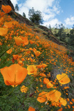 Spring Poppy Hillside  Merced