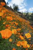 Spring Poppy Hillside  Merced