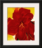 Red Amaryllis  1937