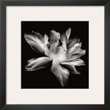 Radiant Tulip I