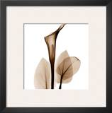 Calla Lilly in Sienna