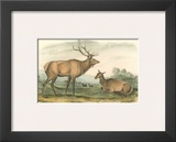 American Elk and Deer