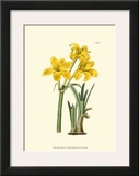 Yellow Narcissus I