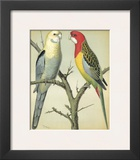 Cassell's Parrots I