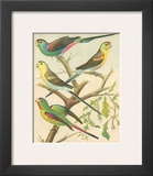 Cassell's Parakeets IV
