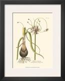 Allium  Pl 261