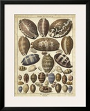 Cowrie Shells I