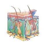 Skin  Illustration