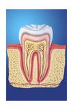 Dent Saine (Molaire)
