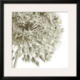 Allium I