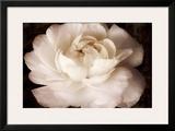 Elegant Ranunculus II