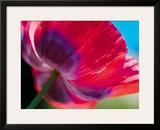 Radiant Poppy I