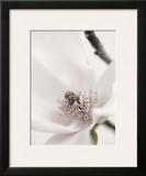 Magnolia Blush II