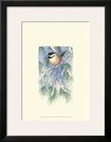 Chickadee in White Pine