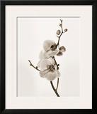 Orchids in Sepia Tones