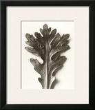 Chrysanthemum Segetum  Feverfew