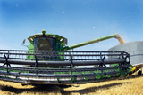 Harvesting Wheat Grain