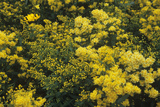 Goldenrod (Solidago 'Cloth of Gold')